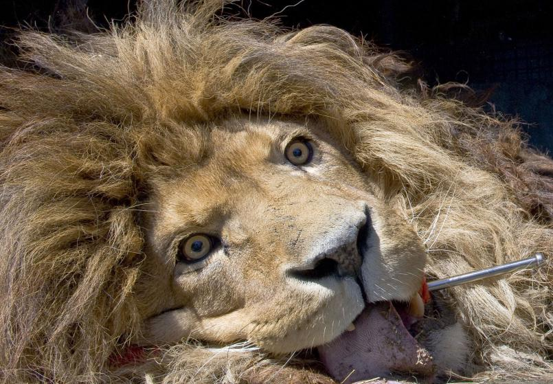 A lion, which was anaesthetized, lies in a truck in Champetieres during the evacuation of over 160 animals from the Bouy zoo which is in compulsory liquidation and whose owner was jailed for international trafficking of protected species by an organized gang, on April 9, 2015.  AFP PHOTO / THIERRY ZOCCOLAN        (Photo credit should read THIERRY ZOCCOLAN/AFP/Getty Images)