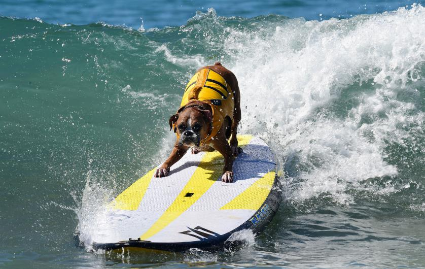Dogs, big and small, and some in tandem or with their owner, participate in the 7th annual Surf City Surf Dog contest in Huntington Beach, California on September 27, 2015. AFP PHOTO / FREDERIC J. BROWN        (Photo credit should read FREDERIC J. BROWN/AFP/Getty Images)