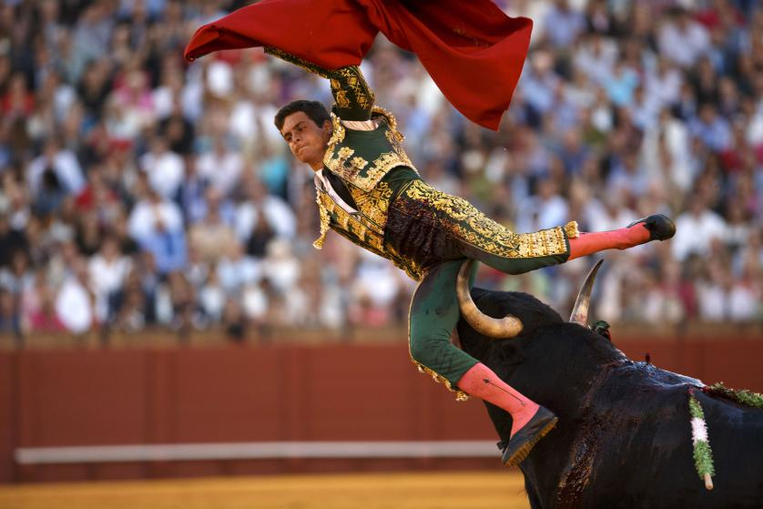 Spanish matador David Galvan is tackled by a bull during a bullfight in Seville, southern Spain