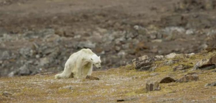 La historia detrás de la foto del oso polar muriendo